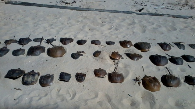 Did the demise of horseshoe crabs like these help give Delaware's Slaughter Beach its peculiar name?